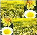 2,000 Chrysanthemum Coronarium GARLAND DAISY SEEDS ~EDIBLE FLOWERS HERB ~ Z.1-10