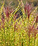 Miscanthus Gold Breeze, Perennial Ornamental Grass Potted Plant