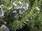 """ARP Rosemary Plant - Cold Hardy - Live Plant - 3"""" Pot"""