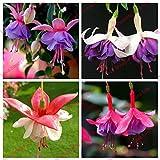 Crazy Big Promotion Fuchsias Lantern Flower Seeds DIY Flower Bonsai Plant Fuchsia Hybrida Voss Seeds 50 Seeds / bag