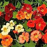 Nasturtium Jewel Mix,( tropaeolum majus)100 seeds,flowers and seeds are edible
