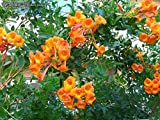 Tecoma stans Orange Jubilee | Trumpet Bush | 10_seeds