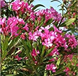 Fresh Nerium Oleander 25 Seeds