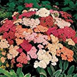 HEIRLOOM NON GMO Summer Berries Yarrow Mix 50 seeds