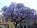 Paulownia elongata (Royal Empress Tree) 1000 SEEDS from Ukraine