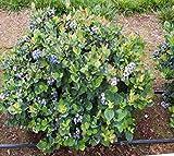 Top Hat Dwarf Blueberry - Live Plant - Quart Pot