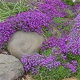 50+ AUBRIETA LILAC PURPLE ROCK CRESS FLOWER SEEDS / PERENNIAL / DEER RESISTANT