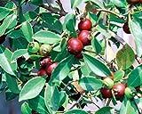 LovelyGarden STRAWBERRY GUAVA - Psidium littorale, Tropical Fruit Tree, Can Grow in Pots