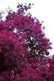 Purple Smoke Tree - 2 to 3' Tall Seedling. Purple leaves and flowers, live plant