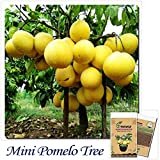 Mayan Seeds LLC Bonsai Fruit seeds 10pcs Hardy Mini Pummello Pomelo Pomello tree Dwarf kao Pan Grape fruit! Rare