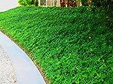 Ornamental Peanut Grass Qty 60 Live Fully Rooted Plants Arachis Glabrata