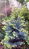 100 Pcs Korean Fir,Rare Tree Seeds, Abies Koreana Seed, Perennial Bonsai Pot Plant ,Outdoor Seedlings Beauty Your Garden 2