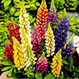 Hot Sale! 50 seeds lupin seeds flower lupine, Purple white red blue pink I want to sprout Original package lupin seeds of change