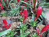 Vriesea the Bromeliad family.