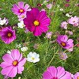 Non GMO Bulk Wild Cosmos Seeds - Sensation Mix Cosmos bipinnatus (1 lb) 50,000 Seeds