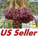 7 PCS Medjool Date Palm Seeds E31, Organic Bonsai Phoenix Dactylifera US Seller