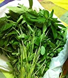 1000 Jute Seeds, Egyptian Spinach, Saluyot, Molokhia, Plant Spring or Summer !