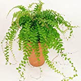 Maidenhair Fern Seeds Adiantum Capillus Maidenhair Fern Seeds Perennial Plant