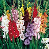 Mixed Gladiolus Flower Bulbs - 10 Bulbs Assorted Colors