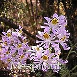 Butterfly Grass Seeds 100 Seeds Chile Flower Schizanthus Pinnatus 8 #32710822760ST