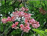 10 Seeds Cassia javanica Ornamental Apple Blossom Cassia Tree
