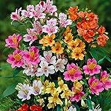 20 PERUVIAN LILY Mix - Alstroemeria Dr Salters Flower Bulb SEEDS S&H Comb