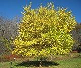 50 Osage Orange Tree Seeds, Maclura Pomifera
