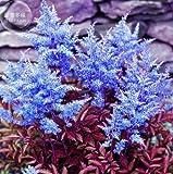 New Dark Blue Astilbe Chinensis Perennial Flower 100+ Seeds