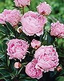 Van Zyverden Sarah Bernhardt Peonies Roots (Set of 5), Pink