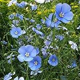 Outsidepride Flax Sky Blue - 1000 Seeds