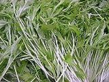 3000 Mizuna Seeds,Organic Asian Green ,shui cai, kyon,Both Cold & Heat Tolerant
