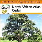 SAFLAX - Garden in the Bag - North African Atlas Cedar - 20 seeds - Cedrus atlantica