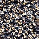 #1268GIANT BLUE CORN 35 seeds #1268