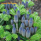 Rare Blue Korean Fir CEDAR TREE Seeds, 10 Seeds/Pack, disease-resistant tree silver fir hardy plant perennial