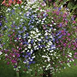 Lobelia Seeds,Trailing Mixed, Use in hanging baskets or trailing over window box(100 Seeds)