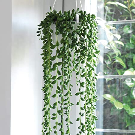 String Of Pearls Indoor House Plants Hanging Basket Senecio With Trailing Foliage Perfect For Windowsill Or Conservatory 1 X Senecio Plant In A 14cm Hanging Basket By Thompson And Morgan Amazon Co Uk Garden