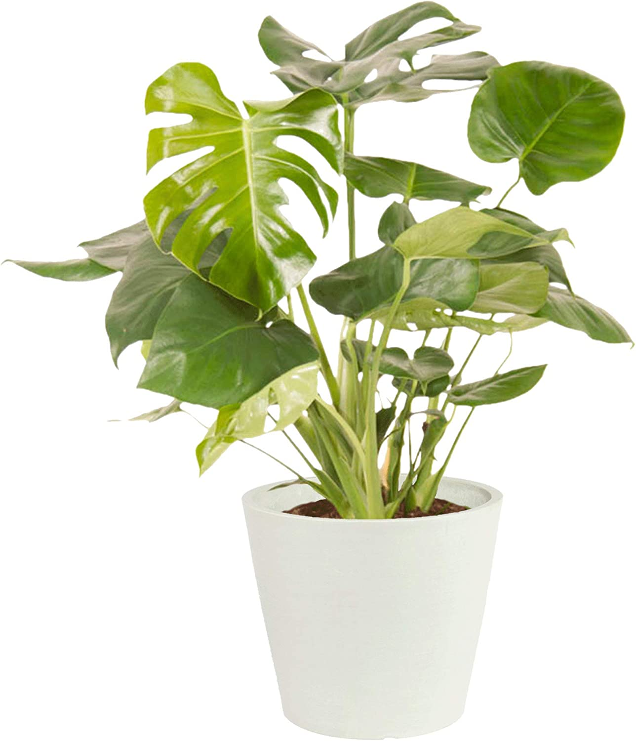 Swiss Cheese Plant Philodendron Monstera Plant Indoor Potted Plants Large House Plants Height 70 Cm Pot 24 Cm Delivered In A White Ecopots Pot Amazon Co Uk Garden Outdoors