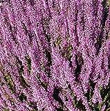 Calluna Vulgaris Seed,Scotch heather, an evergreen ground cover or low shrub.(50 Seeds)