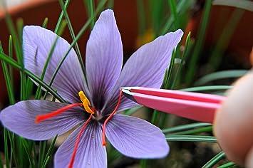 Amazon.com: Saffron Crocus 10 Bulbs + Saffron Bulb Food - Crocus ...