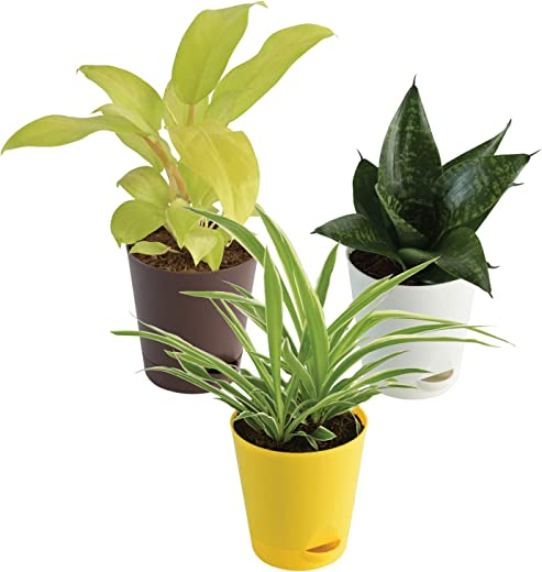Ugaoo Indoor Plants for Home with Pot- Philodendron Ceylon Golden, Spider Plant, Sanseveria Green