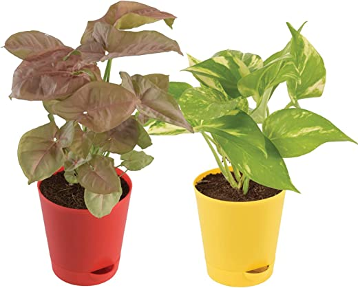Ugaoo Indoor Plants With Pot For Home - Syngonium Pink & Money Plant Variegated