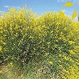 SPANISH BROOM Spartium Junceum - 25+ SEEDS