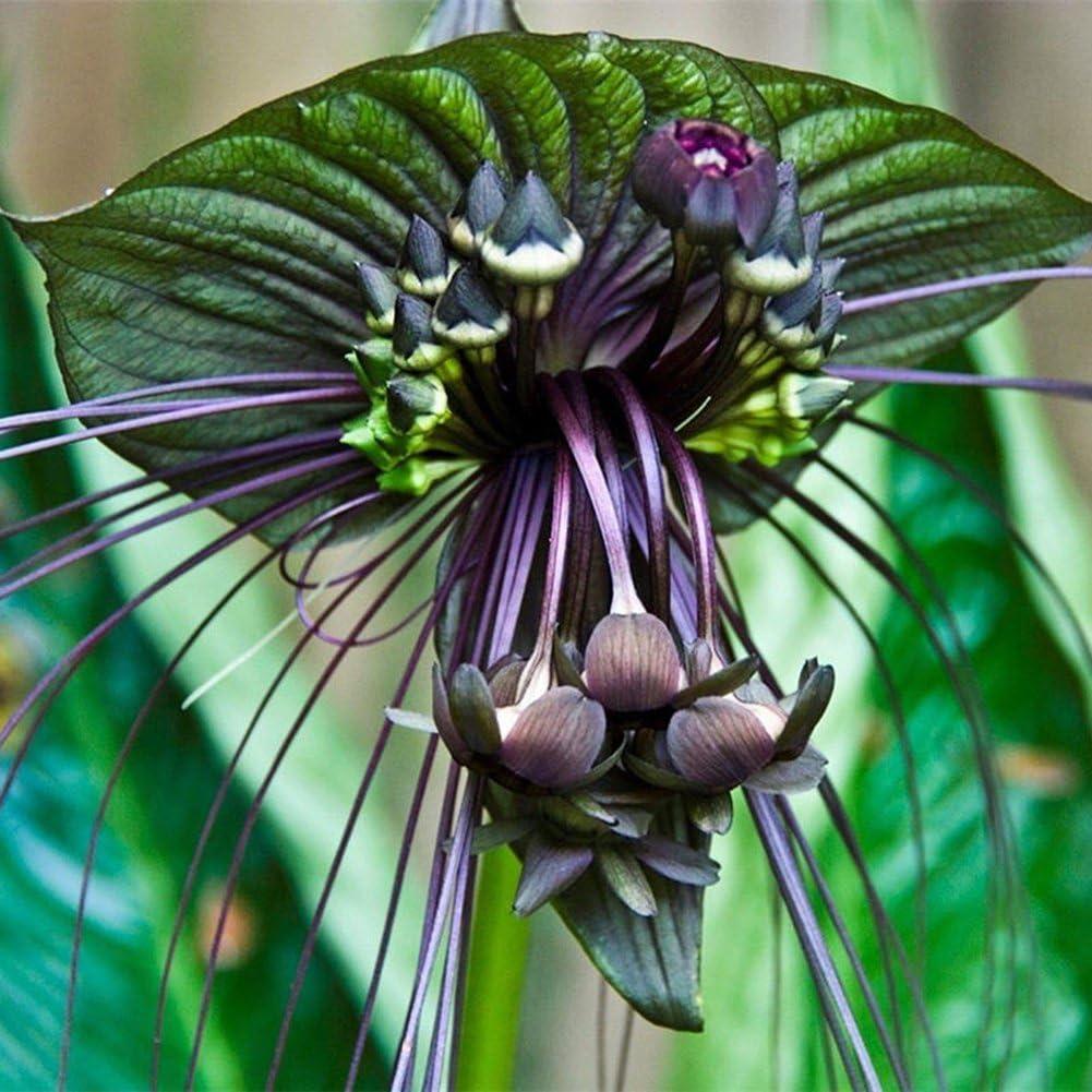 Best Black Flower for your garden