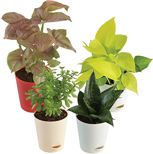 Ugaoo Indoor Plants for Home with Pot- Money Plant Golden, Jade Mini, Sanseveria Green, Syngonium Pink