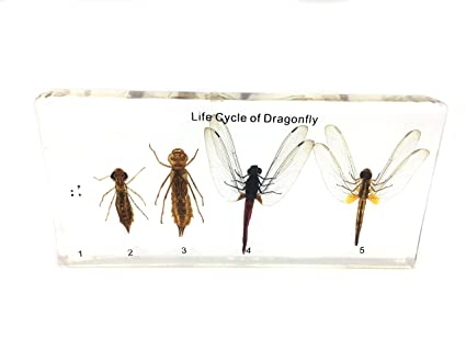 Lifecycle Of A Dragonfly Science Classroom Specimens For Science Education Amazon Ca Industrial Scientific