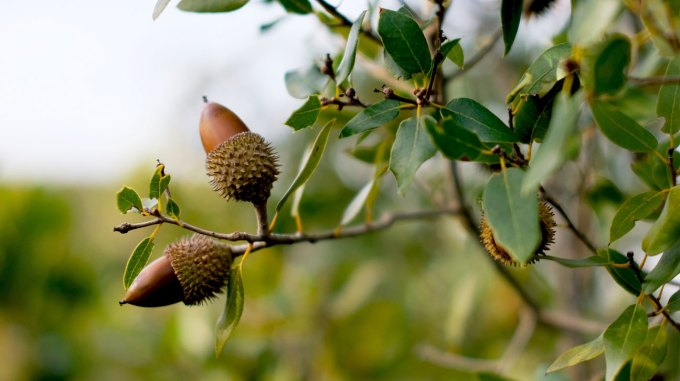 Can You Eat Acorns Nutrition Benefits And Dangers