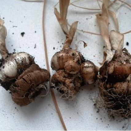 Можно ли пересаживать крокусы осенью