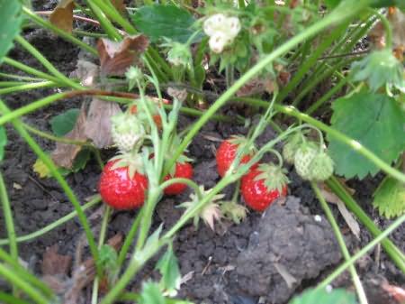 Когда созревает лесная земляника и можно ли ее выращивать в саду