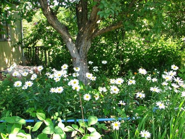 Как бороться с хвощом на огороде