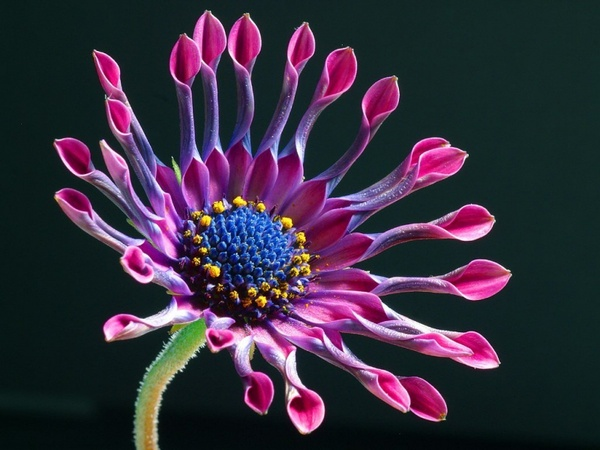 african daisy flower nature